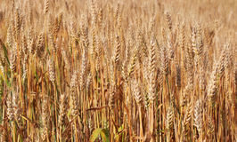 Spikes of ripe wheat. Golden winter wheat field in sunlight closeup, shallow depth of field. Agriculture, agronomy and farming background. Harvest concept Stock Photo