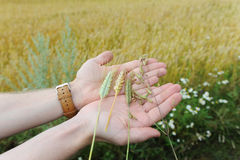 Spikes of rye, oats, wheat and triticale in handfuls against the background of an earful field Royalty Free Stock Image