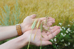 Spikes of rye, oats, wheat and triticale in handfuls against the background of an earful field Stock Image