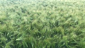 Spikes sway in the wind. Green wheat field with natural light. The wind tilts the plant to the sides stock footage