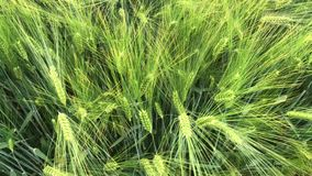 Spikes sway in the wind. Green wheat field with natural light. The wind tilts the plant to the sides stock video footage