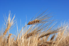 Spikes of wheat Stock Photography