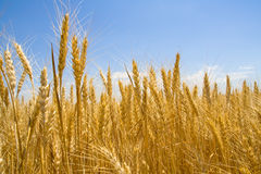 Spikes of wheat. The ripe ears of wheat in field Stock Photography