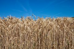 Spikes of wheat and blue sky Royalty Free Stock Photography