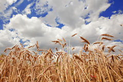 Spikes of the wheat and blue sky with clouds Royalty Free Stock Photo