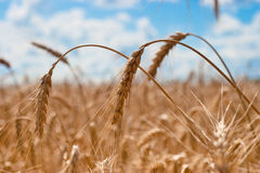 Spikes of wheat closeup. Beautiful field of ripe wheat under blue cloudy sky Royalty Free Stock Images