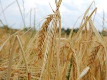 Spikes wheat Stock Photos