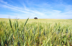 Spikes of wheat field Stock Images