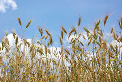 Spikes of the wheat with sky. Stock Photo