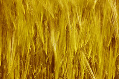 Spikes of wheat. Warm tone. Royalty Free Stock Image