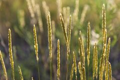 Spikes of wildflowers - perennial grasses on a meadow. On a natural blurred background in sunlight. Summer at meadow royalty free stock photography