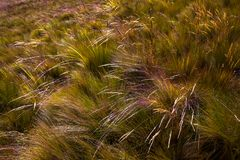 Spikes of wind-blown straw. In the Ecuadorian paramo Stock Images