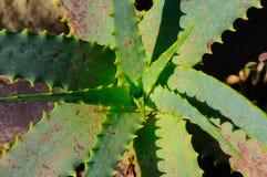 Spikey Aloe Lilaceae Plant. Stock Photos