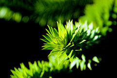 Spikey Bush. The pointed leaves of a defensive bush protect itself from animal predators Stock Photos