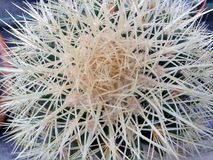Spikey cactus Royalty Free Stock Photo