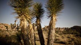 Spikey desert trees panning timelapse. Video of spikey desert trees panning timelapse stock video