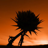 Spikey Flower. Orange Silhouetted Flower Stock Images