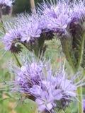 Spikey Flowers. Purple Spikey Flowers Stock Images