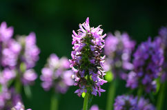 Spikey Lavender Flower Blossoms in a Garden Royalty Free Stock Photo