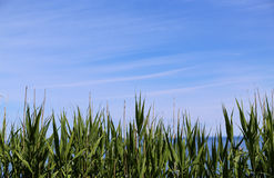 Spikey Leaves and Sky background. Spikey Leaves and blue sky background Stock Photo