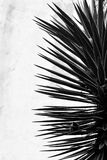 Spikey plant in Baku Botanic Gardens, in black and white Stock Photo