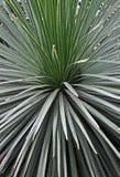 Spikey a poussé des feuilles plante verte Photographie stock
