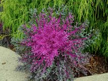 spikey purple ornamental cabbage and kale Stock Images