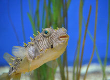 Spikey Spines on a Striped Burrfish Up Close. Up close look at at the spikey spines of a striped burrfish Stock Photos