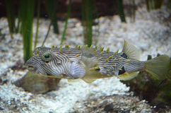 Spikey Striped Burrfish one a Sandy Ocean Floor. A swimming spikey striped burrfish swimming along a sandy ocean floor Royalty Free Stock Photography