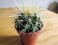 Spiky в горшке конец-вверх кактуса Стоковая Фотография