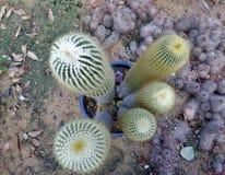 Spiky кактусы в геодезическом куполе в парке Ram IX Suan Luang Phra Стоковое Изображение