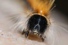Spiky портрет гусеницы Стоковые Фотографии RF