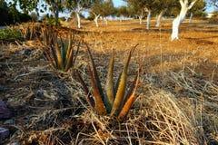 Spiky agawy roślina w Oliwnym gaju, Grecja Obraz Stock