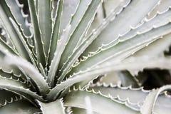 Spiky aloes rośliny up zakończenia makro- szczegół Fotografia Royalty Free