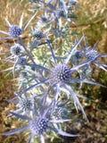 Spiky ametystowi osetów kwiaty zdjęcie royalty free