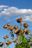 Spiky artichoke Royalty Free Stock Photos