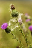 Spiky beauty. Flowering freed thistle in the field Royalty Free Stock Photo