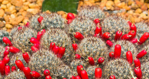 Spiky Cactus. Thorny Cactus with a lot of Red Buds Royalty Free Stock Images