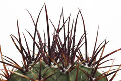 Spiky cactus top. Spikes on top of cactus look like punk hair Royalty Free Stock Photo