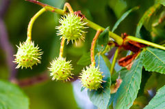 Spiky capsules of a horse-chestnut Stock Photography