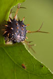 Spiky catterpillar. A spiky catterpillar is shy to face the camera Stock Images