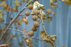 Platan leaves with fruits close-up . Spiky Chestnut Ball . plant hanging a branch with buds . durian . stock image
