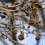 Spiky dry fruit on a leafless tree branch Royalty Free Stock Images
