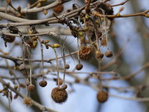 Spiky dry fruit on a leafless tree branch. A spiky dry fruit on a leafless tree branch stock image