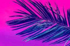 Free Spiky Feathery Palm Leaf On Duotone Purple Violet Pink Background. Trendy Neon Colors. Toned. Minimalist Style Royalty Free Stock Image - 150592326