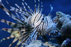 Spiky fish. Deep water fish in the sea Stock Photography