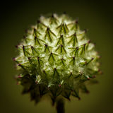 Spiky, fuzzy bud of a head of flowers Stock Photography