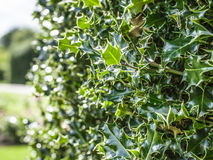 Spiky green bush. This image shows some spiky green bush in Kew Gardens in London Royalty Free Stock Photo