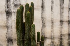 Spiky Green Cactus against a white stucco wall Royalty Free Stock Photography
