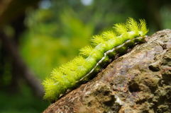 Spiky green caterpillar Automeris Io moth on rock Stock Photos